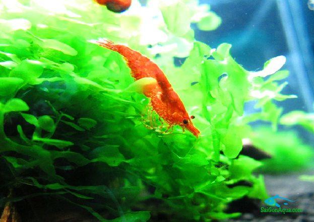MY CHERRY SHRIMP- Hồ nuôi tép đỏ