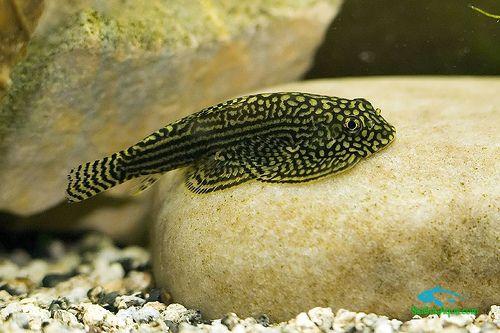 Cá_tỳ_bà_cánh_bướm - Các loại cá thủy sinh ăn rêu hại thủy sinh