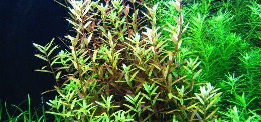 cây thủy sinh vảy ốc