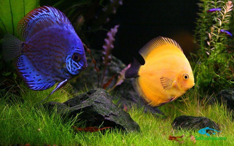 cá thủy sinh dicsusfish