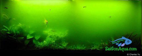 nước_xanh_thuysinh_saigon_aqua_greenwater