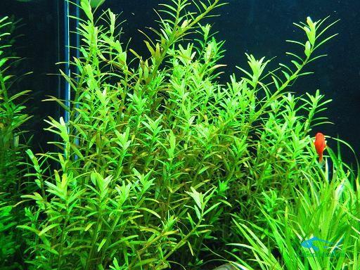 cây thủy sinh -vayocxanh