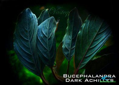 bucep