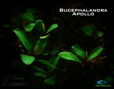 cây thủy sinh bucep 2