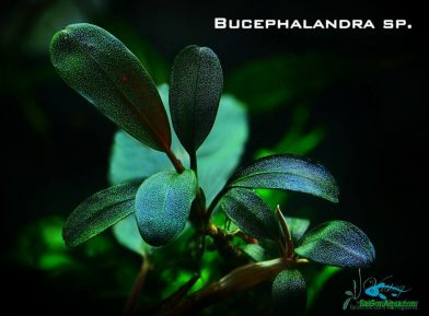 cây thủy sinh bucep 1