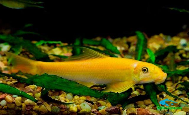cá bống vàng - Các loại cá thủy sinh ăn rêu hại thủy sinh