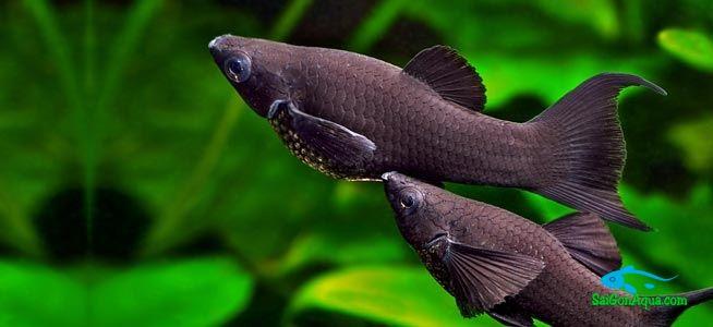 cá hắc molly - Các loại cá thủy sinh ăn rêu hại thủy sinh