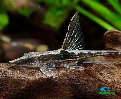 cá trực thăng - Các loại cá thủy sinh