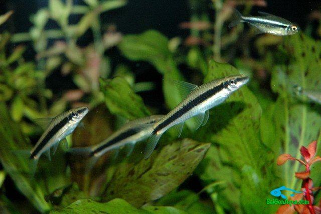ca-but-chi - Các loại cá thủy sinh ăn rêu hại thủy sinh