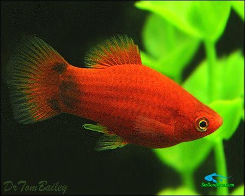 ca-mun-do - Các loại cá thủy sinh