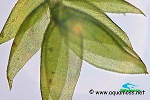 rêu thủy sinh_Java-Moss-Microscope-01-s