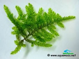 rêu thủy sinh_Peacock-Moss-Leaves-s
