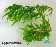 rêu thủy sinh_Weeping-Moss-Closeup-01-s