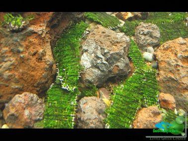 cột rêu thủy sinh_19(1)