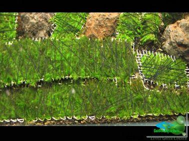 cột rêu thủy sinh_20 (1)