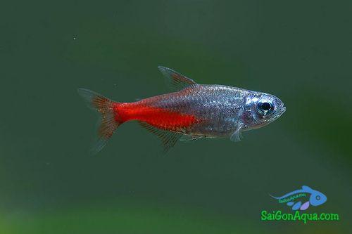 các loại cá cảnh  cá neon kim cương
