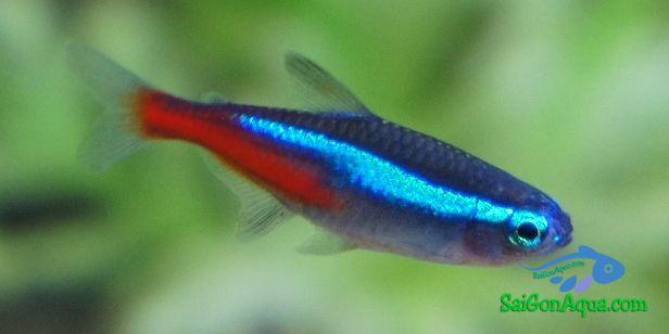 các loại cá cảnh neon thường