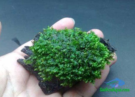 Các loại rêu thủy sinh minifiss_thuysinh_saigon_aqua_2