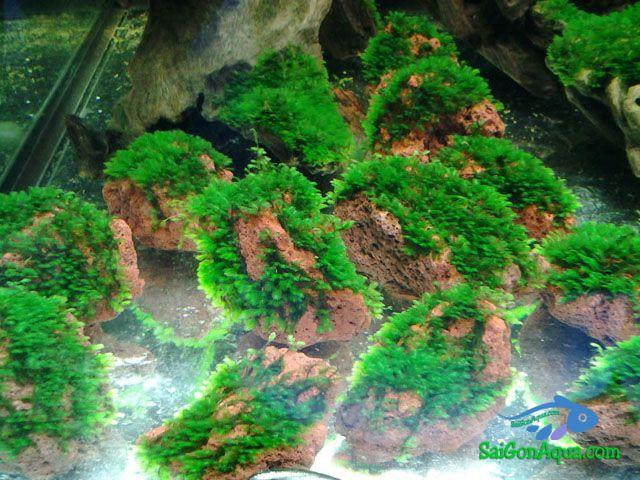 Các loại rêu thủy sinh minifiss_thuysinh_saigon_aqua_3