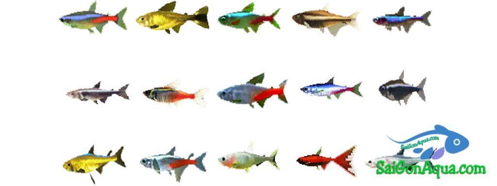 phân loại cá neon