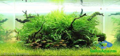 300L Aquatic Garden Barb Island