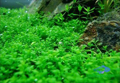 Cây thủy sinh trân châu cuba