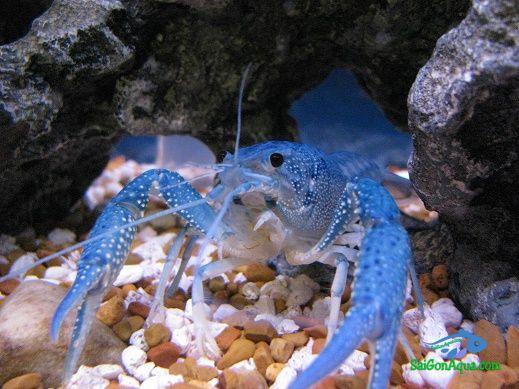 Sơ lược tôm cảnh – Crayfish