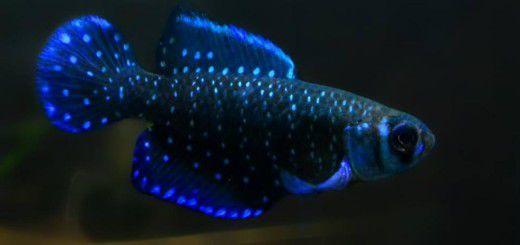 Blackfin Pearlfish - Ngọc trai đen