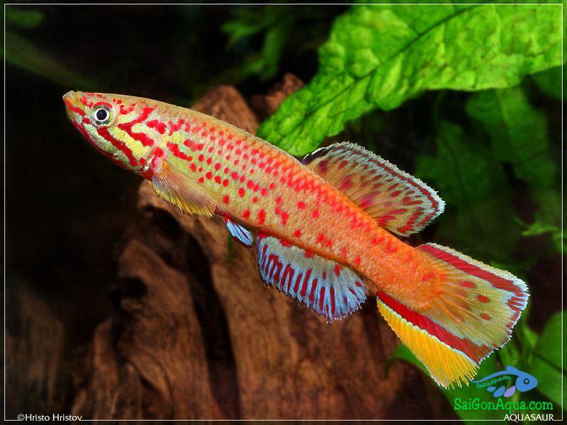 Callopanchax-monroviae-Paynesville-red-form1