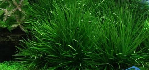 cây thủy sinh dễ trồng cay-co-nhat