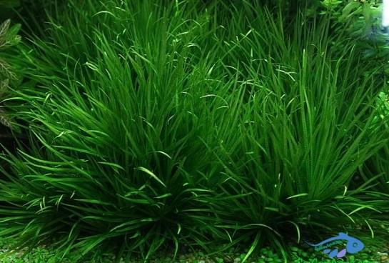 Các loại cây thủy sinh dễ trồng