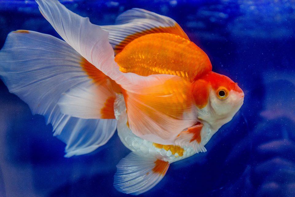 Goldfish – Cá vàng – Phân loại